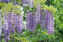 Wistaria flowers. The close-up of wistaria flowers. Scientific name:Wisteria sinensis Royalty Free Stock Image