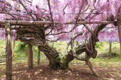 Wistaria garden in Kawachi stock photography