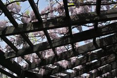 Wistaria pergola. The Chinese wistaria is blooming on pergola Royalty Free Stock Photos