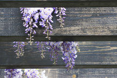 Wistaria pergola Royalty Free Stock Photography