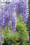 Wistaria pergola Royalty Free Stock Photos