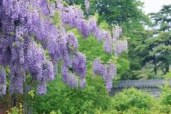 Wistaria pergola Royalty Free Stock Images