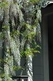 wistera белизны лозы стоковые фотографии rf