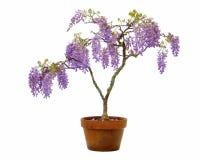 wisteria δοχείων στοκ φωτογραφία με δικαίωμα ελεύθερης χρήσης
