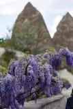 Wisteria που ανθίζει σε Cappadocia Στοκ Φωτογραφία