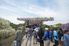 wisteria Fotografia Stock Libera da Diritti
