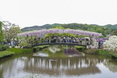 wisteria Fotografie Stock