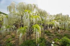 wisteria Immagine Stock