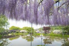 wisteria Immagini Stock