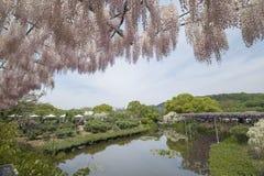 wisteria Immagini Stock Libere da Diritti