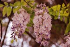 wisteria Fotografie Stock Libere da Diritti