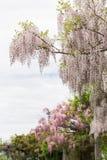 wisteria royaltyfri foto