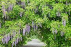wisteria Foto de Stock