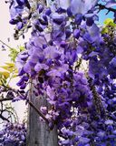 wisteria photographie stock