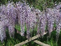 wisteria photographie stock