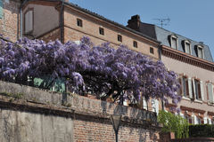 Wisteria. A luxuriant pergola of wisteria stock photo