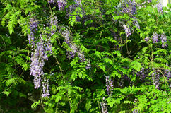 wisteria Στοκ Φωτογραφίες