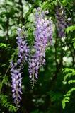 wisteria Στοκ Εικόνα