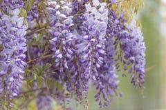 wisteria Imagem de Stock