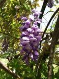 wisteria Imagenes de archivo
