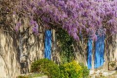 wisteria Arkivbild