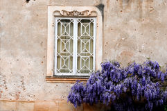 wisteria Images libres de droits
