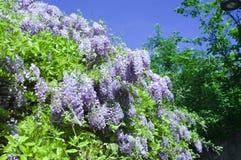 wisteria Imagens de Stock Royalty Free