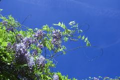 wisteria Fotos de Stock Royalty Free