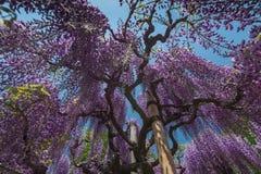 wisteria Stock Fotografie