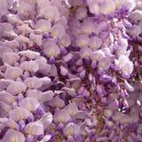 wisteria Royaltyfria Bilder