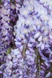wisteria Imagen de archivo libre de regalías