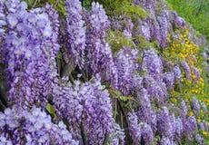 wisteria fotografia de stock royalty free