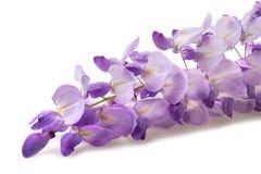wisteria Lizenzfreie Stockfotos