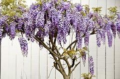 wisteria Royaltyfria Foton