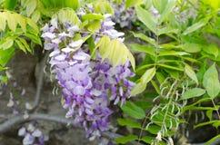 wisteria Arkivfoton