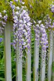 Wisteria. Vine produces arching purple blossoms royalty free stock photography