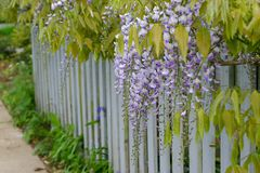 Wisteria. Blossoms arch over white picket fence in residential neighborhood stock image