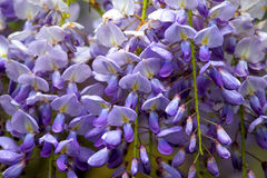 Wisteria. Flowers Stock Photography