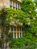 wisteria Photo libre de droits