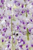 wisteria Stock Foto