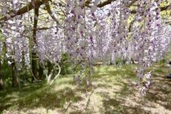 wisteria Royalty-vrije Stock Afbeeldingen