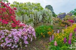 wisteria Lizenzfreies Stockbild