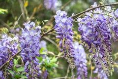 wisteria immagine stock libera da diritti