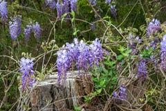 wisteria Arkivbilder