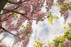 wisteria Royalty-vrije Stock Fotografie