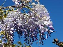 wisteria stock afbeelding