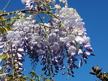 wisteria Imagen de archivo