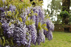Wisteria. (also spelled Wistaria or Wysteria) is a genus of flowering plants in the pea family, Fabaceae, that includes ten species of woody climbing vines Royalty Free Stock Image