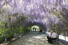 Wisteria Arbour, Adelaide Botanic Garden, South Australia. Adelaide, South Australia, Australia - October 8, 2017: People enjoying the shade of the Wisteria Stock Images