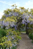 Wisteria arch at Greys Court. Wisteria in bloom at stately home Greys Court, Oxfordshire in May Stock Photography